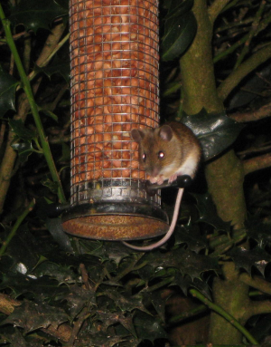 Field/Wood Mouse/Yellowneck