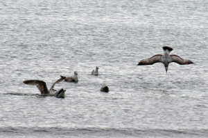 Herring gulls diving