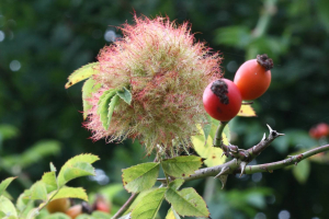 Robin's Pincushion or Bedeguar Gall