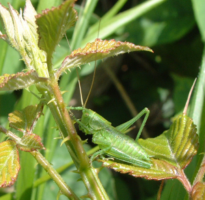 Immature great green bush cricket