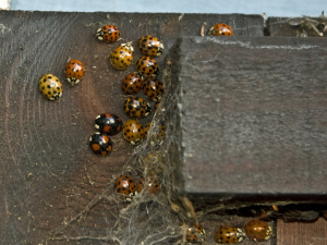 A gathering of ladybirds
