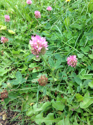 Is this Red Clover?