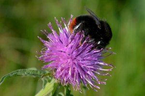 red tailed bumble bee on common knapweed