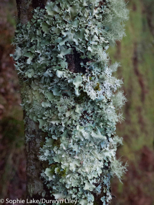Lichens on oak trunk