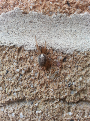 Young Steatoda Nobilis?