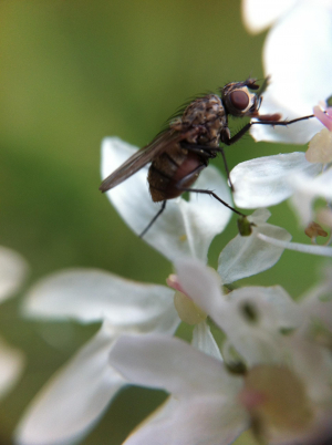 hogweed insect 4