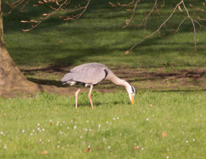 Heron catching worms