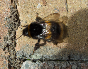 Buff Tailed Bumble Bee