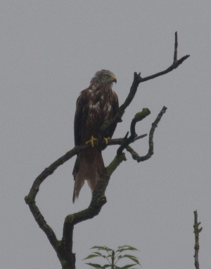 Bedraggled Red Kite