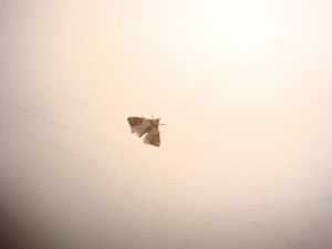 Moth that infested my house