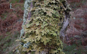 Tree lungwort