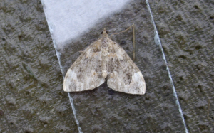 Common Marbled Carpet - Very faded