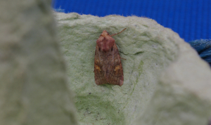 Indet. Ear Moth