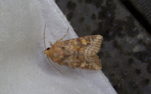 Ear Moth (Amphipoea sp.)