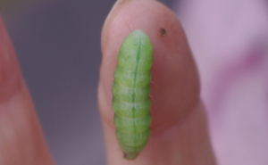Help with Caterpillar Id please