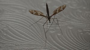 What crane fly is this ?