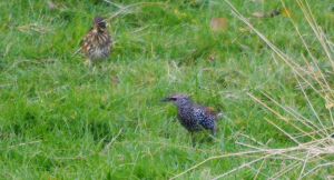 Are these Starling?