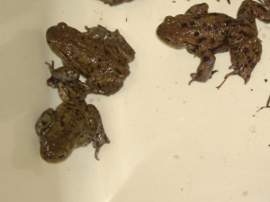 Common Toads are at last on the move
