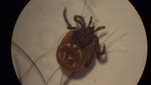 Tick nymph - ixodes spp.