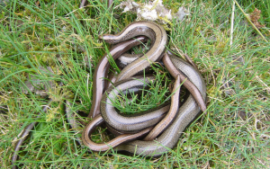 Group of Slow Worms