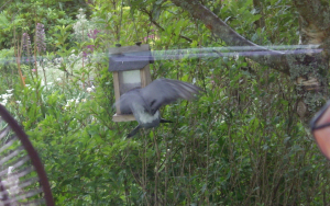 Rock Dove on feeder