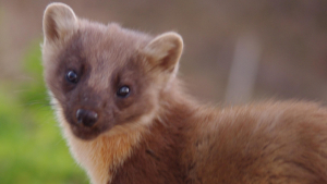 Pine Marten active in evening light now