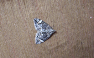 Dark Marbled Carpet Moth