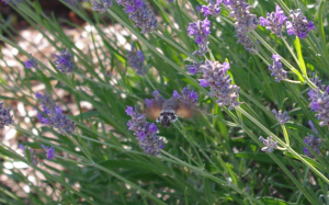 Humming-bird Hawk-moth?