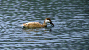 Female Pochard?