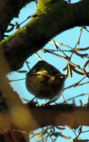 Possible Goldcrest