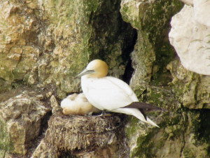 Gannet and young