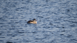 Possible Little Grebe?
