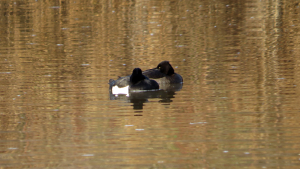 Male & Femal Tufted Duck