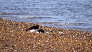 Oystercatcher and Turnstones