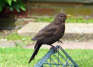 Femal Blackbird