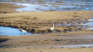 Curlew?
