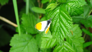 Possible Orange Tip