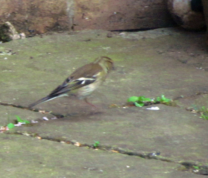 Female Chaffinch?