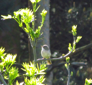 Possible Whitethroat
