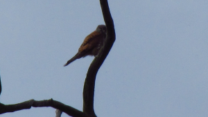 Pair of Kestrels?