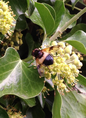 Unknown bee on ivy flowers. About double the size of honey bee.