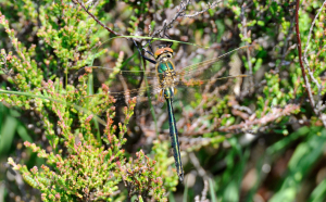 Brilliant Emerald Dragonfly