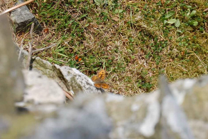 Small Copper and Wall