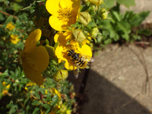 Hoverfly?