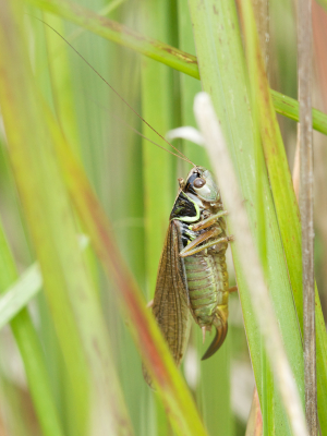 Roesel's Bush-cricket - long winged form