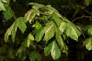 Variegated Sycamore