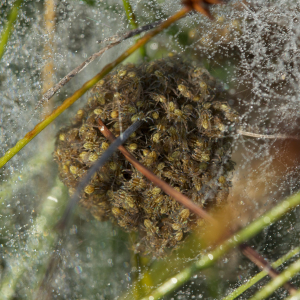 Raft Spiderlings