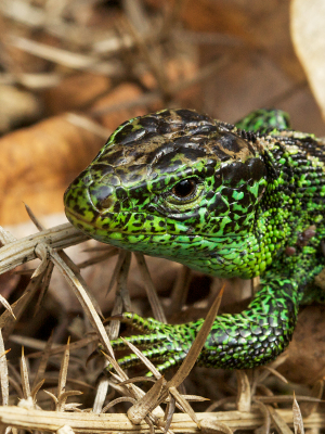 More male Sand Lizards...