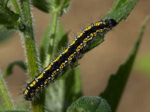 Scarlet Tiger caterpillar
