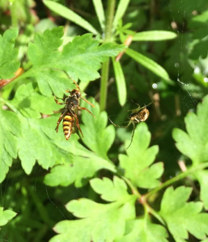 Bee hornet or wasp